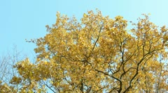 Autumn orange old oak tree leaves move wind background blue sky Stock Footage