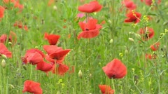 Poppy pasture - close up full screen Stock Footage