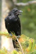 Korppi (Corvus corax) Kuvituskuvat