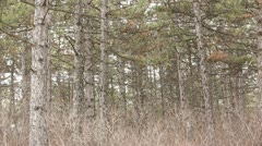 Pine forest in spring Stock Footage