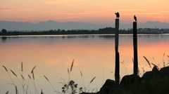 Twilight Herons on Pilings Preening by River Stock Footage