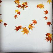 Falling autumn leaves - stock photo