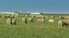 Many Sheep grazing in a field - stock footage