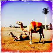 Distressed photograph of camels in desert landscape Stock Photos