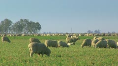 Large Herd of Sheep Grazing in a field - stock footage