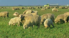 Close Up of Sheep Grazing in Pasture - stock footage