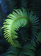 Illuminated curling fern leaf outdoors Stock Photos