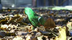 Male eclectus flying in leaves Stock Footage