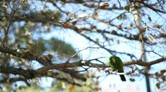 Male eclectus fall time wide Stock Footage