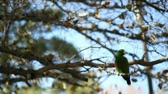 Male eclectus fall time wide 2 Stock Footage