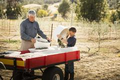 Older Caucasian man and grandson working in olive grove - stock photo