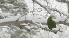 Eclectus snow 2 Stock Footage