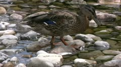Ducks feeding in the pebbled shallows of the River Wharfe Stock Footage