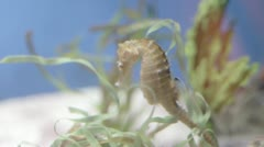 Courting sea horses Stock Footage