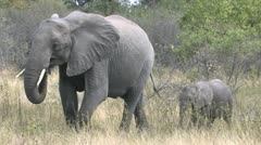 Elephant mom and calf Stock Footage