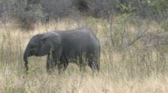 Elephant Calf Stock Footage