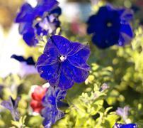 Sininen kukka kellokukka ilmoitus kuiva aurinkoinen päivä Kuvituskuvat