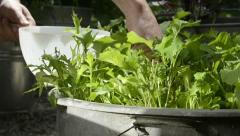Plucking homegrown salad - harvesting salad leaves 3 - stock footage