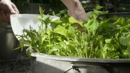 Stock Video Footage of Plucking homegrown salad - harvesting salad leaves 3
