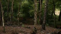 Woodland scene 02 Stock Footage