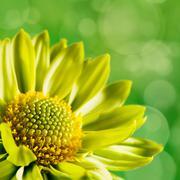 chrysanthemum flower against unfocused green backgrounds - stock illustration