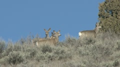 Mule Deer - stock footage