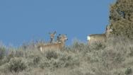 Stock Video Footage of Mule Deer