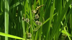 Branched Bur-reed (Sparganium erectum) with spiky flowers Stock Footage