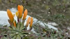 Orange spring flowers in falling snow Stock Footage