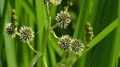 Branched Bur-reed (Sparganium erectum)  close up spiky flowers - stock footage