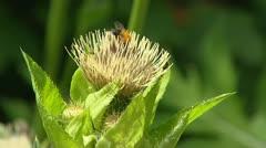 Cabbage thistle, Cirsium oleraceum + bees Stock Footage