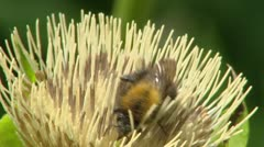 Cabbage thistle, Cirsium oleraceum + bee - close up. Stock Footage