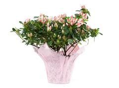 Azalea in pot isolated on white background Stock Photos