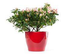 azalea in pot isolated on white background - stock photo