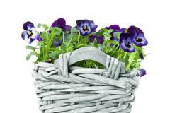 Sweet pansies in plait basket -shallow dof Stock Photos