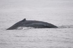 Humpback whale dorsal fin Stock Photos