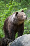 Brown bear (lat. ursus arctos) Stock Photos