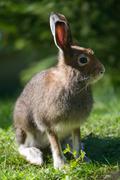 mountain hare (lat. lepus timidus) - stock photo
