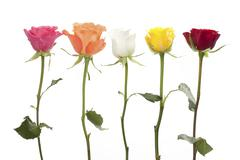 five roses in different colors - stock photo