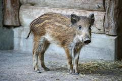Young captive wild boar Stock Photos