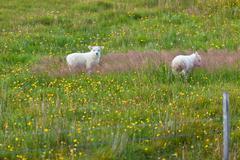 Lambs on the green grass Stock Photos