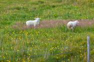 Stock Photo of lambs on the green grass