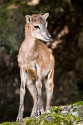 young sika deer fawn - stock photo