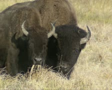 Bison grazing inYellowstone National Park, autumn - close up Stock Footage