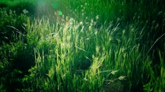Tall Reeds of Grass Sway in the sunlight Stock Footage