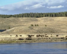 Bison herd at Yellowstone river bank Stock Footage