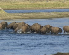 Bison herd crossing Yellowstone river at Hayden Valley Stock Footage