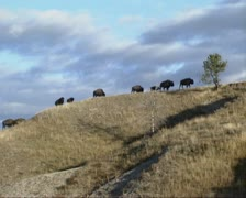Bison herd migration on hillside in Yellowstone National Park Stock Footage
