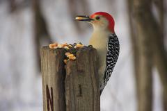 Red-bellied woodpecker (melanerpes carolinus) male Stock Photos