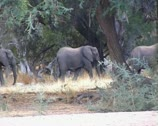 Desert elephants walking in river bed in Namibia. Stock Footage